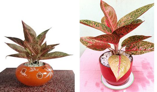 Hồng Môn - cây phong thủy đẹp
