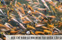 Ở đâu bán cá Koi mini đẹp, giá rẻ tại Quận Cầu Giấy?