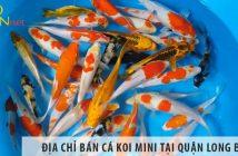 Ở đâu bán cá Koi mini đẹp, giá rẻ tại Quận Long Biên?