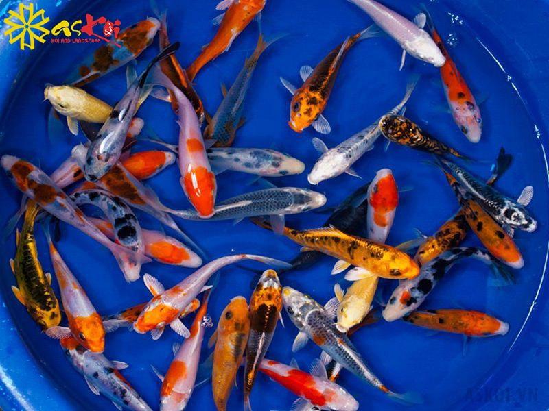 Để lựa chọn một cơ sở bán cá Koi mini chất lượng cần dựa trên nhiều tiêu chí đánh giá