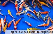 Ở đâu bán cá Koi mini đẹp, giá rẻ tại Quận Tây Hồ?